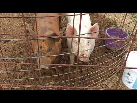 Preparing for the 2018 Hillbilly Pig Races – Waiting on a reward