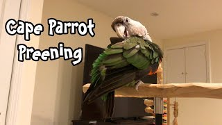 Truman Cape Parrot Preening His Feathers
