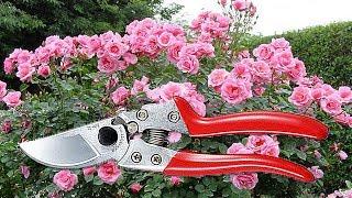 Как расчистить ХАЩИ. Садовый секатор - отличный помощник в Вашем саду.