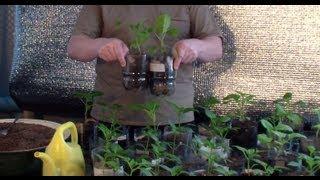 Уход за рассадой перцев и баклажан