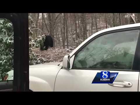 Medveď v aute (USA)