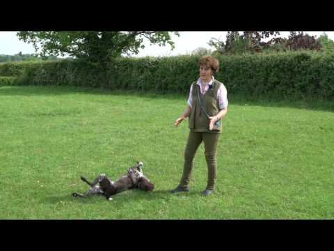 Training young German shorthaired Pointer early stop whistle training
