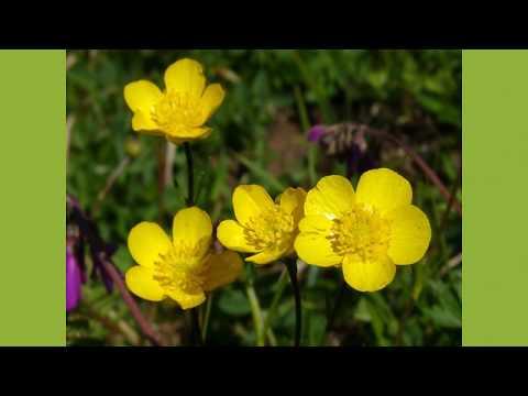 Цветущие травы. 04 - Лютики