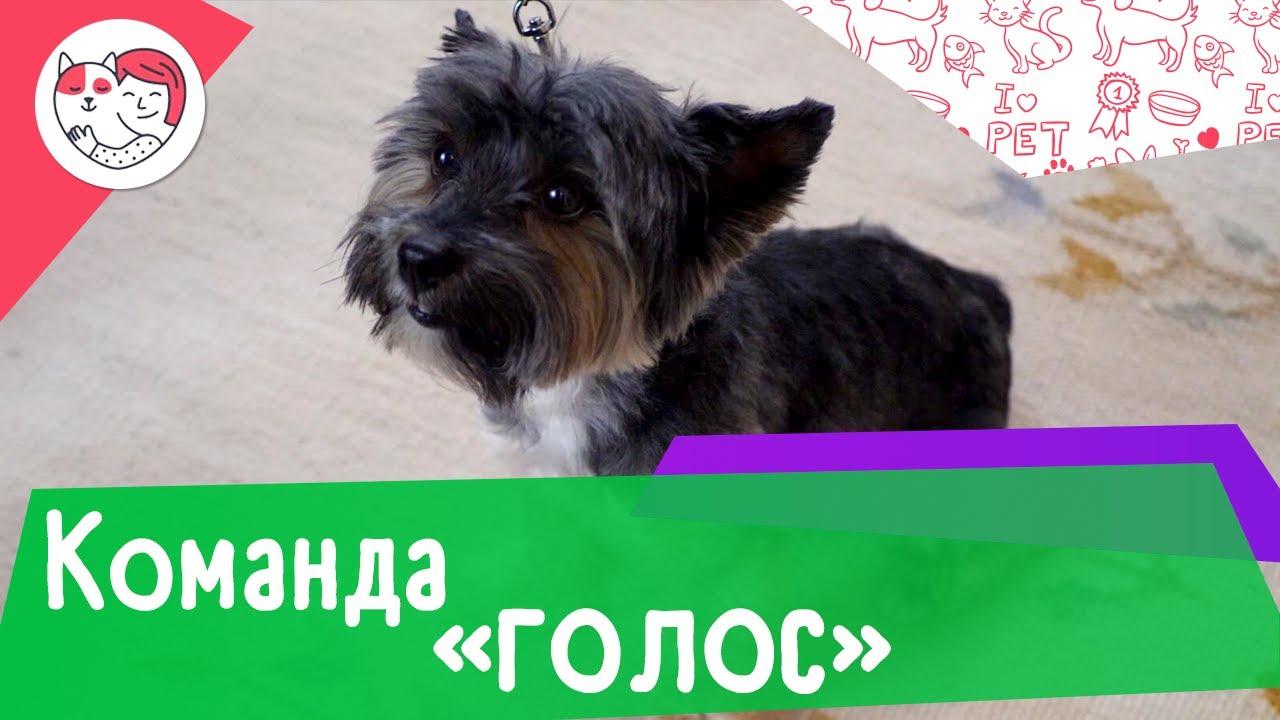 Как научить собаку команде «голос»: видеоинструкция