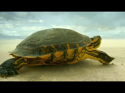 Turtle Travels Through Desert | Earth From Space | BBC Earth
