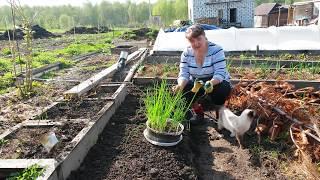 Гигантский лук Айлса Грейк из семян !!! Семена с АлиЭкспресс.