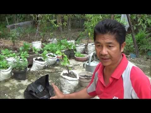 Video Campuran Arang Sekam dan Pupuk Kandang untuk Menanam Anggur dalam Polybag