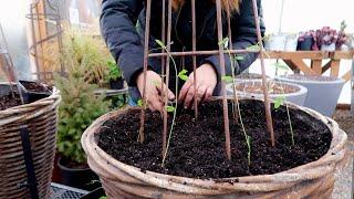 Planting Foxglove/Delphinium Seeds & Transplanting Sweet Peas! 🌸🤞🥰// Garden Answer
