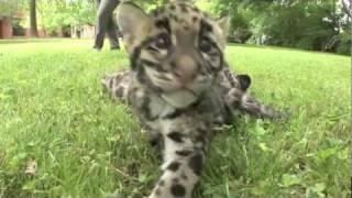 Дымчатые леопарды из Нэшвилля: Нам уже два месяца!