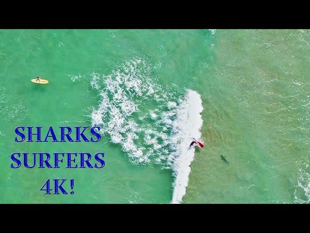 Surfer Falls on SHARK!!! | Amazing 4K Drone Footage | DJI Mavic Air