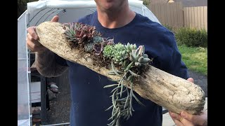 Planting Two Driftwood Succulent Planters
