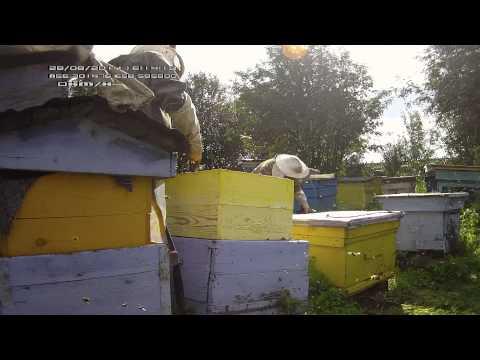 Выдув пчел ранцевой воздуходувкой.
