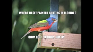 PAINTED BUNTING AT FELTS PRESERVE, FLORIDA (CHIM QÚI Ở FLORIDA, HOA KỲ )
