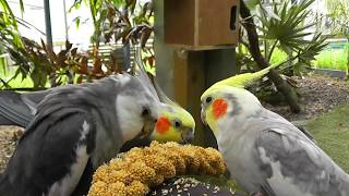 30 Minutes of Aviary. Uninterrupted, Narration Free @ The Pheasantasiam (Cockatiels, Doves, Quail)