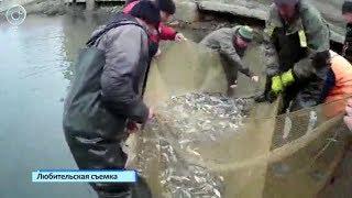 Волонтёры спасли несколько тонн рыбы от гибели в канале шлюза ГЭС