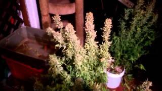 Autoflower Cannabis Plants Ready For Harvest!