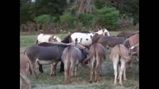 Happy, happy donkeys!  Nothing like a big bale of fresh coastal hay to make happy donkeys!