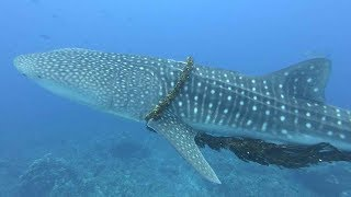 Family Of Divers Rescue Whale Shark From Fishing Rope
