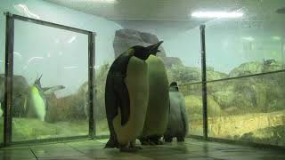 #2-5 Dec 2017 Emperor penguin at Adventure world, Japan
