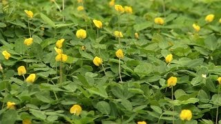 Newswise:Video Embedded perennial-peanut-a-ground-cover-for-your-florida-yard