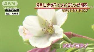 まさか、この時期に・・・富山で桜咲く季節を勘違い?15/09/16