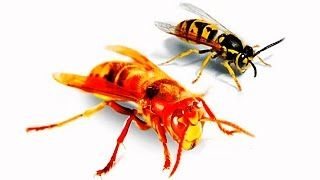 The Dangerous Myth of Wasp and Hornet Spray for Self-Defense