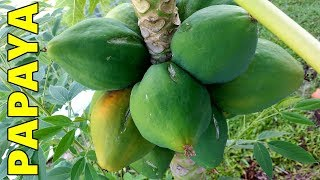 6 Tips How to Grow Papaya Perfectly in the Ground & Containers