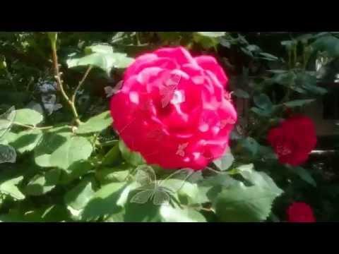 Лето, цветут розы