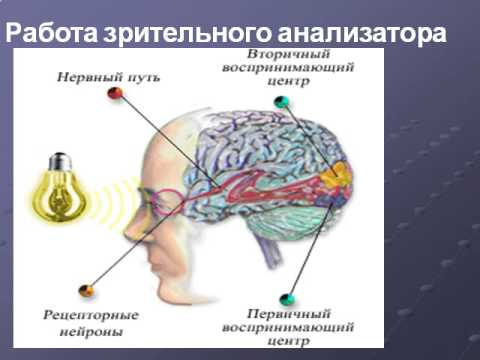 Глаз орган зрения презентация 3 класс