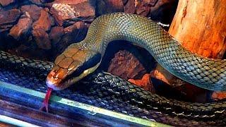 Язык Змеи. Змея Высовывает Язык. Змеиный Язык. Раздвоенный Язык Змеи. Видео Змеи. Футаж Змея