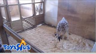 April the Giraffes gives birth - see her baby!