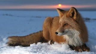 Очень интересный документальный фильм о Лисах! Документальыне фильмы, фильмы про животных