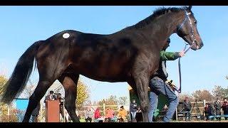 Английских чистокровных лошадей представили на аукционе в Краснодарском крае