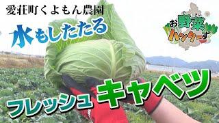 【お野菜ハンターず】 フレッシュキャベツ 愛荘町くよもん農園