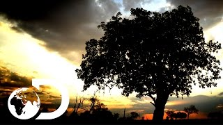 The Sausage Tree | Africa's Trees Of Life