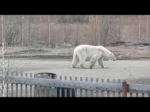 В поселке Джебарики-Хая замечен белый медведь. Местное население призвали не выходить на улицу