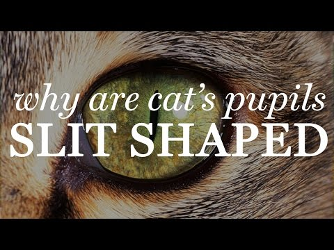 Why Are Cat's Pupils Slit Shaped?