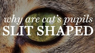 Why Are Cats Pupils Slit Shaped?