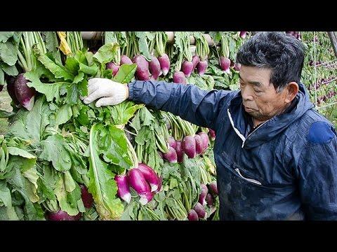 出荷最盛期を迎えた松江市の伝統野菜「津田かぶ」