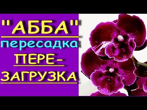 "Фаленопсис ""АББА"":снова-ПЕРЕСАДКА,приключения,РЕЗУЛЬТАТ.Орхидея phal. 'Abba',перезагрузка."