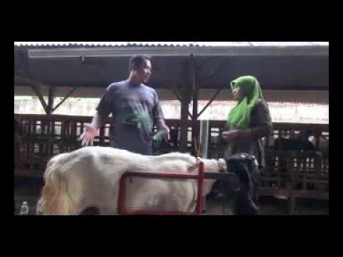 Video Kambing PE budidaya