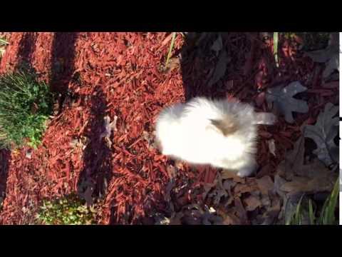 AKC Papillon Male   White and sable