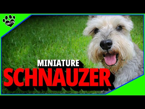 Dogs 101: Miniature Schnauzer Dogs Most Popular Dog Breeds - Animal Facts