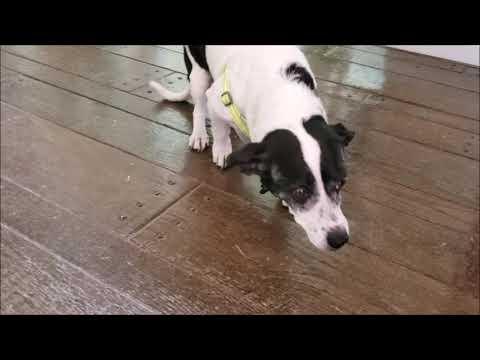 URGENT! Clover - Watch my video!, an adoptable Dachshund & Boston Terrier Mix in Pasadena, CA