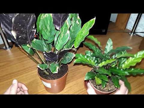 Покупка растений по уценке. Как вернуть такие растения к жизни.