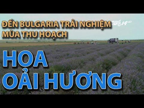 TINH DẦU THẢO NGUYÊN - trải nghiệm mùa thu hoạch hoa Oải hương  Bulgaria