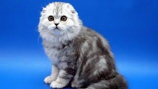 Шотландские вислоухие котята funny cats - смешные красивые коты и кошки 2019