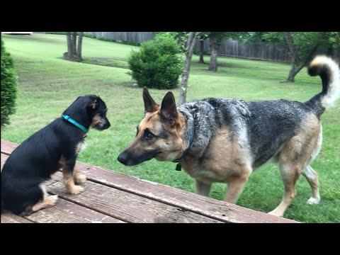 Download Boxer German Shepherd Chorkie Video 3GP Mp4 FLV HD Mp3