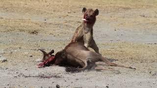 Hyena eats wildebeest alive in NgoroNgoro crater.