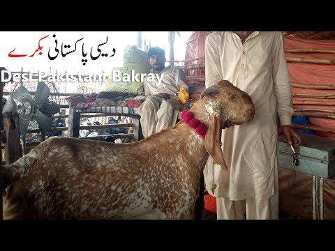 Download Lahore Bakra Mandi Sindhi Desi Bakra For Sale